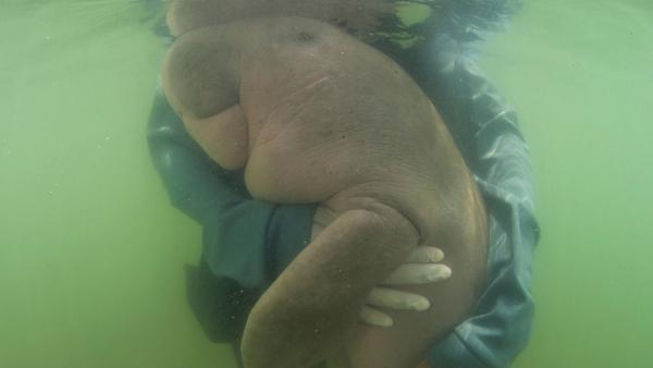 Marium, a lost baby dugong, gets a hug from an official of Thailand's Department of Marine and Coastal Resources. The 8-month-old mammal, who captured hearts online, died after biologists believe she ate plastic waste.