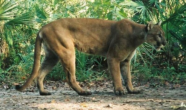 Florida panther.