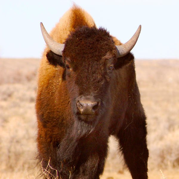A young buffalo on the American Praire Reserve in northeastern Montana.