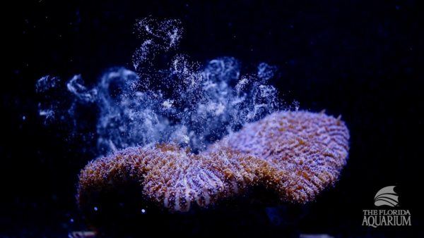 The Florida Aquarium recently announced they had induced Atlantic coral to spawn in a laboratory for the first time.