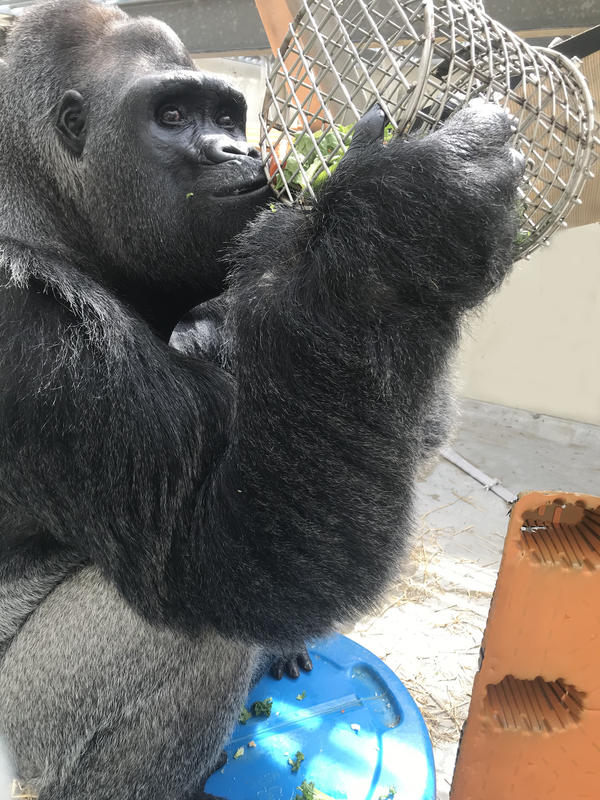 Ndume with an enrichment item. Keepers say he's adjusting well to his new home.