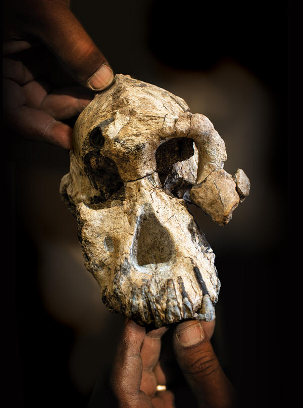 The 3.8 million year old skull found by CMNH researchers has been assigned to the lineage of Australopithecus anamensis, the likely ancestor to Lucy's species Au. afarensis.