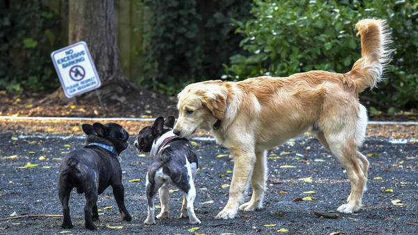 Chubbs, right, a golden retriever and his pal Louie, left, a French bulldog, greet their friend at a small dog park in Chevy Chase, Md.
