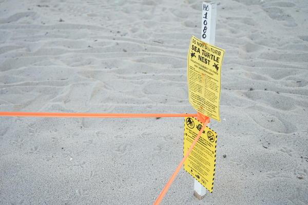 Sea turtle nest on Sunny Isles Beach