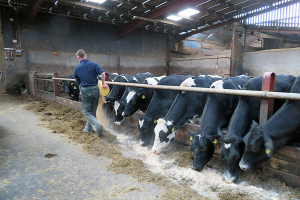 James Toner feeds cows at his family's dairy farm in Northern Ireland's County Armagh. Thirty-five percent of Northern Irish milk is sold to Ireland. Northern Irish farmers who have built lucrative cross-border trade with the Irish Republic are especially worried about the possibility of a no-deal Brexit.