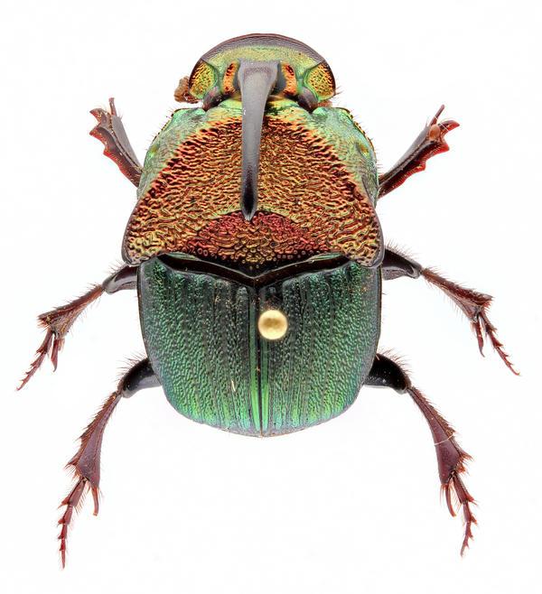 Phanaeus vindex dung beetle