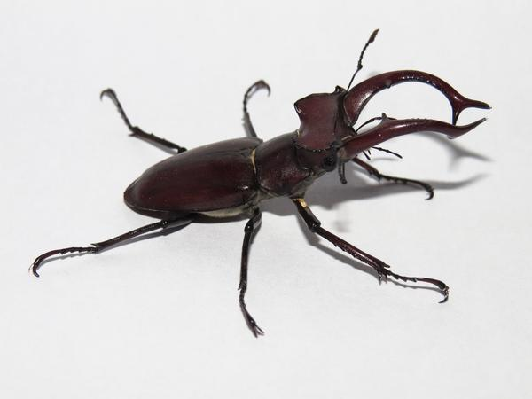 A stag beetle.