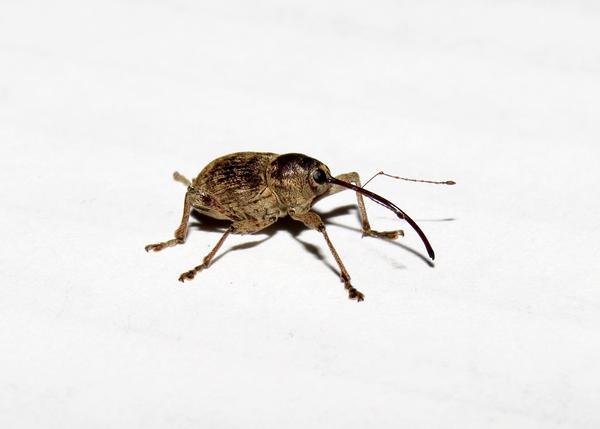 A pecan weevil.