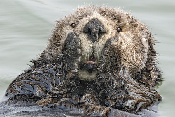 Oh my, this sea otter in Seward, Alaska, didn't see you standing there!