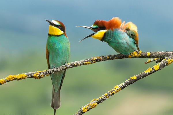Mating ritual or lovers' quarrel? Either way, one of these two birds in Croatia appears much more into it than the other.
