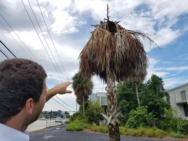 University of Florida researcher Dr. Brian Bahder points out a palm dying after being infected with Lethal Bronzing Disease on the IFAS Broward Extension property.