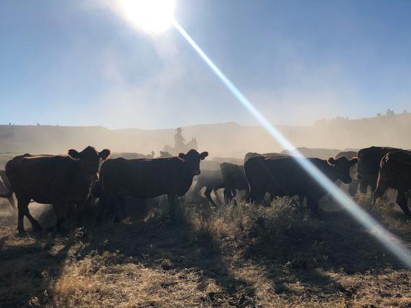 A fog of dust is kicked up from hooves as cowboys quietly push cattle into a corral from a big draw on Silvies Valley Ranch near Burns, Oregon.