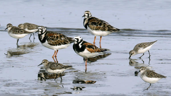 Migrating shorebirds at Kimbles Beach, N.J. Researchers estimate that the population of North American shorebirds alone has fallen by more than a third since 1970.