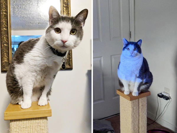 "It's estimated that more than half of the indoor cats in the U.S. are overweight. (Above) Miko the cat, aka ""Miko Angelo,"" is seen before and after participation in a study about feline weight loss."