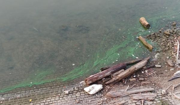 Algae gathers near the riverbank close to the Main Street Steps of Smale Riverfront Park Friday morning.