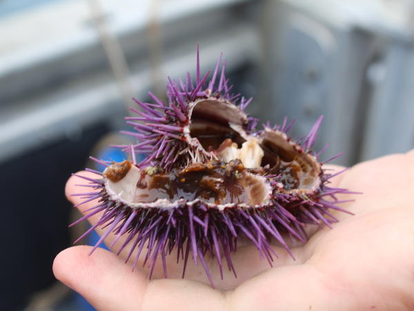 Since purple sea urchins have eaten up their food supply, many of them are empty inside.