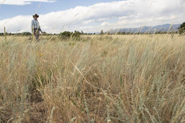 Rancher David Huber stands in his field near Westcliffe, Colo. Colorado is one of many Western states seeing an influx in a highly-flammable, noxious weed known as cheatgrass.