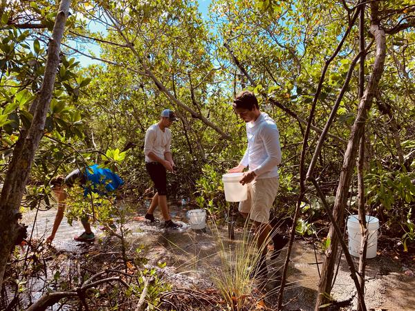 Volunteers collect mangrove propagules at Matheson Hammock Park.