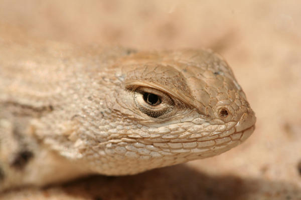 Environmental groups are trying to get the dunes sagebrush lizard added to the endangered species list.