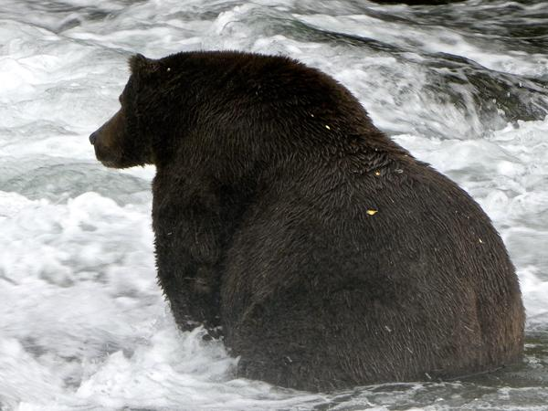 Bear 747 is a favorite in the Fat Bear Week contest in Alaska's Katmai National Park.