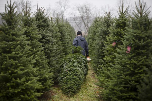 Daniel Hurst cuts down a Christmas tree at the John T Nieman Nursery, Nov. 28, 2015, in Hamilton, Ohio. The family business is home to 60,000 trees.