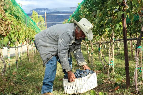 Evodio Macias, a worker from Mexico, lifts a crate of grapes in Palisade, Colorado.  He was hired through the H-2A temporary visa program.