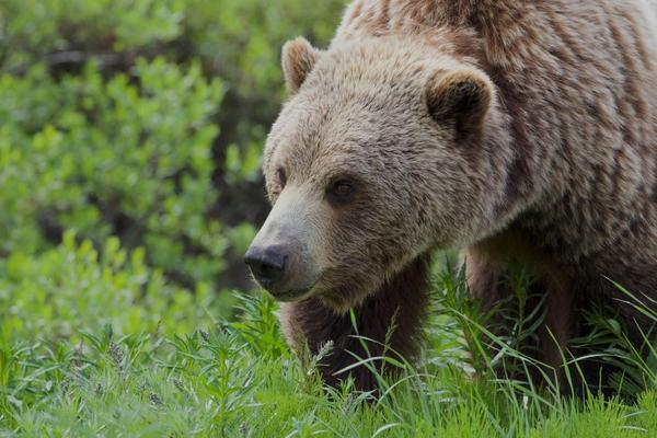So far this year there have been 32 grizzly bears mortalities in the Northern Continental Divide Ecosystem.