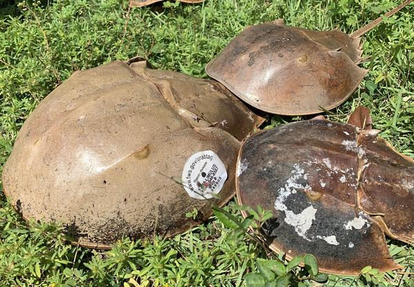 Horseshoe crabs -- one of them tagged -- on display at a volunteer training session at Historic Spanish Point in Osprey, Florida in September 2019. Kerry Sheridan/WUSF