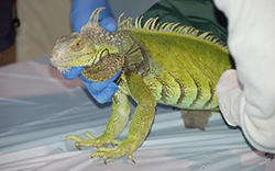 Floridians with exotic animals can turn them in under the pet amnesty program. FLORIDA FISH AND WILDLIFE CONSERVATION COMMISSION