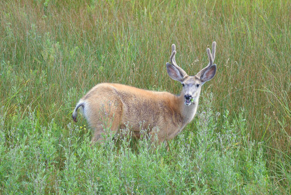 A mule deer buck at the Rocky Flats National Wildlife Refuge near Denver, Colorado.