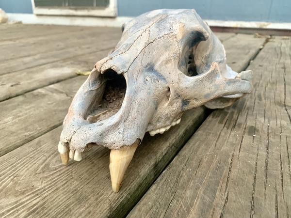 "Two sisters found this grizzly skull while kayaking on the Arkansas River. A paleontologist called it a ""very, very rare event."""