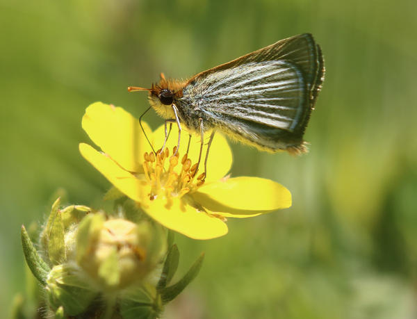 The Poweshiek skipperling butterfly was once common around the Great Lakes region. Now, there are only five remaining populations, four of them in Michigan.
