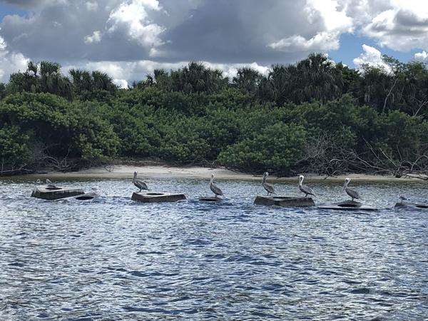 Shore birds lined up on pieces of the cement living shoreline created to break up wave energy along Sunken Island in Hillsborough Bay. Jessica Meszaros/WUSF