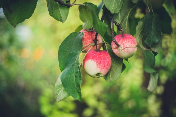 Thieves stole 7,000 pounds of apples from Matt Spicer's apple orchard in Fenton.