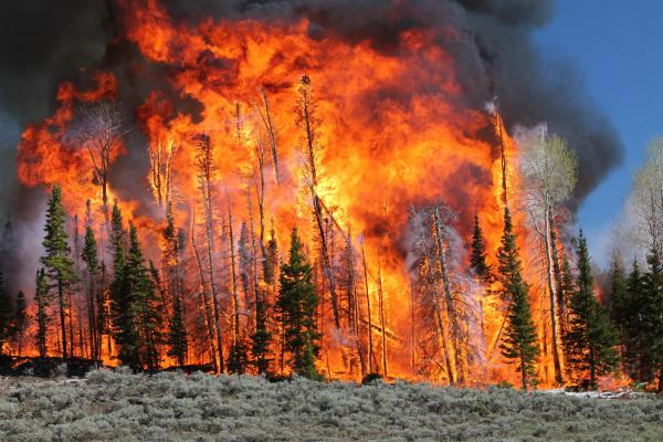 A high-intensity prescribed fire consumes trees on the Fishlake National Forest in Utah in June.