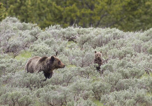 Grizzly bear sow & cub in Yellowstone. Stock photo.