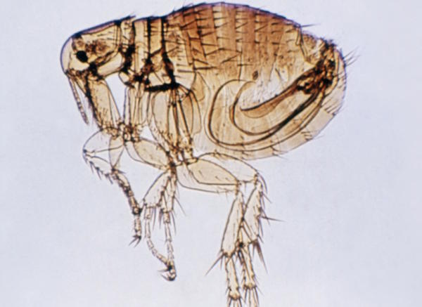 Murine typhus comes from the Rickettsia typhi bacterium, which is spread by fleas that jump from wild animals to pets to humans.