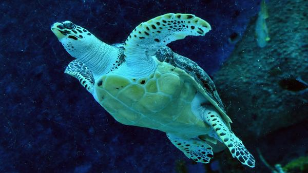 """""""Nature is declining globally at rates unprecedented in human history,"""" a U.N. panel says, reporting that around 1 million species are currently at risk. Here, an endangered hawksbill turtle swims in a Singapore aquarium in 2017."""