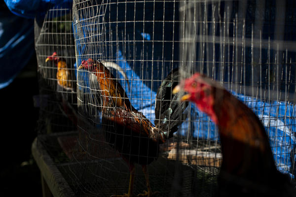 Roosters at the mountaintop home of José Torres. He and his family raise and train 250 of the birds for cockfights.