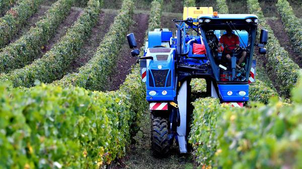 A vineyard worker drives a grape harvester tractor in the Bordeaux region of southwestern France, where climate change is raising new challenges for winemakers.