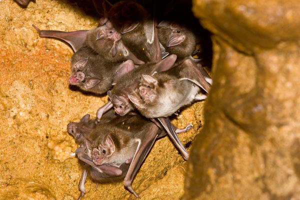 Common vampire bats (<em>Desmodus rotundus</em>), such as this group day-roosting in a cave in Mexico, can form cooperative, friendship-like social relationships.