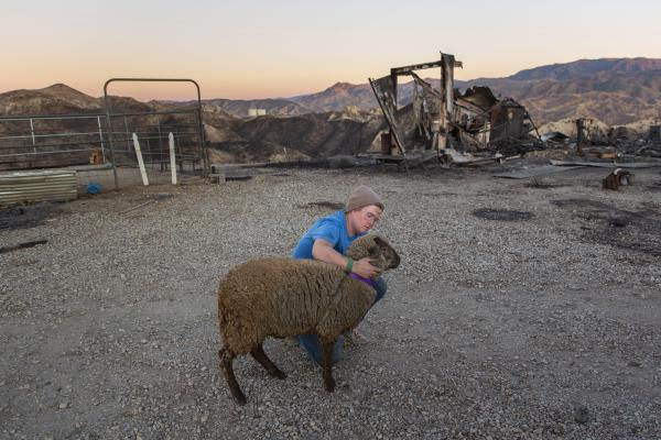 Sam Hull comforts her sheep, Gwen, who suffered burns from the Tick Fire, in Santa Clarita, Calif., on Oct. 25. Shortly after, they traveled to Hull's father's house for the night.