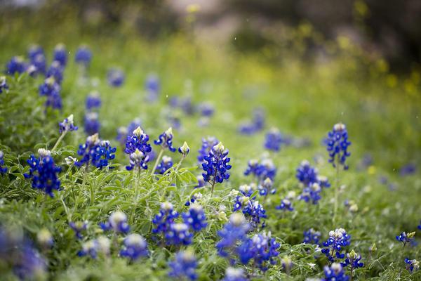 Bluebonnets blooming in downtown Austin near Interstate 35 in February.