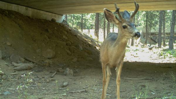 A mule deer uses a wildlife crossing below Highway 97 in Oregon, the same major north-south route in north-central Washington's Okanogan County looking at similar measures.