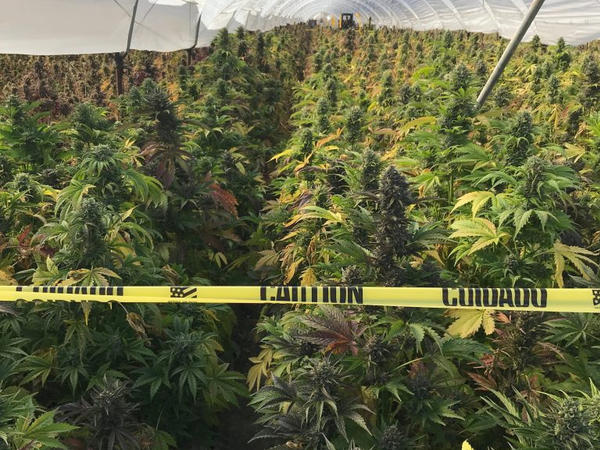 An illegal cannabis cultivation site in the city of Buellton in Santa Barbara County, Calif. Authorities seized 20 tons of illegal cannabis in June in a raid that lasted four days.
