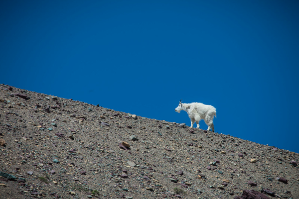 A mountain goat, the basis for the Backcountry.com logo