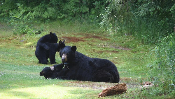 """American Black Bear #391, also named """"Fitz,"""" in Hatfield, Massachusetts, with her cubs in the summer of 2019."""