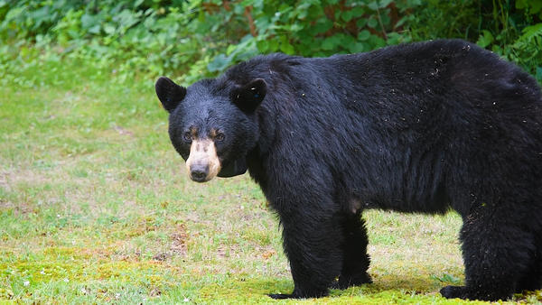 """A black bear known as """"Fitz"""" was involved in a collision with a vehicle on I-91, and died in October 2019."""