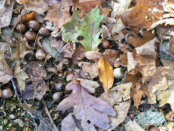 There were acorns underfoot everywhere in the Hatfield woods. It was a productive season for acorns.