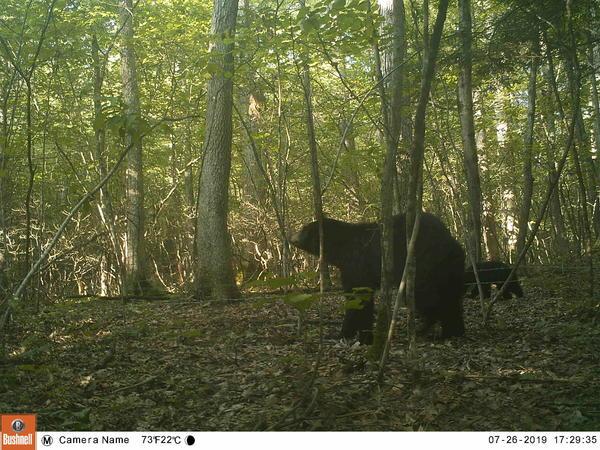 Reseacher Kathy Zeller's game camera captured this image of a black bear passing through woods in Hatfield, Massachusetts.